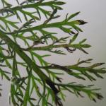 Bucculatrix cristatella - Duizendbladooglapmot