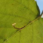 Bucculatrix demaryella - Arlon ~ Domaine Privé (Luxemburg) 25-08-2018 ©Steve Wullaert