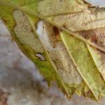 Coleophora potentillae - Braamkokermot