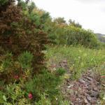 Coleophora albicosta - Gaspeldoornkokermot