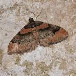 Catarhoe rubidata - Furfooz ~ Parc national de Furfooz (Namen) 10-06-2017 ©Steve Wullaert