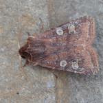 Cerastis leucographa - Furfooz ~ Parc Naturelle de Furfooz (Namen) 07-04-2018 ©Steve Wullaert