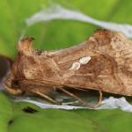 Chrysodeixis chalcites - Moeskroen ~ Argilière du Sterreberg - 1000-soortendag (Henegouwen) 28-07-2018 ©Stéphane Claerebout