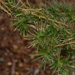 Coleophora laricella - Diepenbeek ~ De Maten (Limburg) 17-10-2020 ©Steve Wullaert