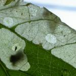 Coleophora lineola - Andoornkokermot