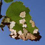 Coleophora siccifolia - Pelt ~ t' Plat  (Limburg) 21-09-2019 ©Steve Wullaert