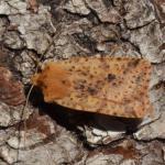 Conistra rubiginea - Furfooz ~ Parc Naturelle de Furfooz (Namen) 07-04-2018 ©Steve Wullaert