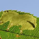 Coptotriche angusticolella - Beauraing ~ Grand Quarti (Namen) 15-09-2018 ©Steve Wullaert