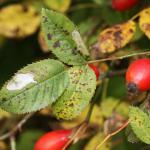 Coptotriche angusticolella - Trooz ~ La Rochette (Namen)  22-09-2018 ©Philippe Vanmeerbeeck