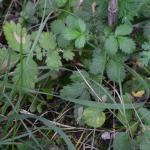 Coptotriche heinemanni - Zwarte bramenvlekmot