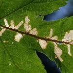 Cosmopterix zieglerella - Neerpelt ~ Het Hageven (Limburg) - 05-09-2020 ©Steve Wullaert