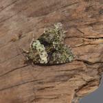 Cryphia algae - Furfooz ~ Parc naturelle de Furfooz (Namen) 03-08-2019 ©Steve Wullaert