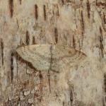 Cyclophora albipunctata - Arlon ~ Domaine Privé - Luxemburg 03-06-2018 ©Steve Wullaert