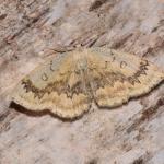 Cyclophora annularia - Furfooz ~ Parc national de Furfooz (Namen) 10-06-2017 ©Steve Wullaert