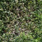 Cydalima perspectalis op Buxus sempervirens (buxus) - Bilzen ~ De Motmolen(Limburg) 15-04-2018 ©Steve Wullaert