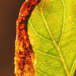 Yponomeuta malinellus - Appelstippelmot