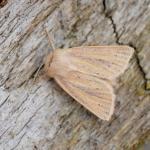 Denticucullus pygmina - Neerpelt ~ Het Hageven (Limburg) - 05-09-2020 ©Steve Wullaert
