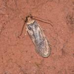 Depressaria libanotidella - Furfooz ~ Parc national de Furfooz (Namen) 10-06-2017 ©Steve Wullaert