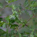 Depressaria libanotidella op Seselia libanotis - Furfooz ~ Parc naturelle de Furfooz (Namen) 04-05-2019 ©Steve Wullaert