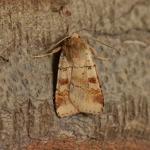 Diarsia mendica - Arlon ~ Domaine Privé - Luxemburg 03-06-2018 ©Steve Wullaert