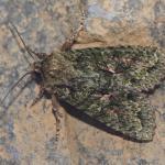 Dryobotodes eremita - Lommel ~ Balimheide (Limburg) 21-09-2019 ©Steve Wullaert