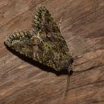 Dryobotodes eremita ~ Oud-Turnhout ~ Landschap de Liereman (Antwerpen) 22-09-2019 ©Steve Wullaert