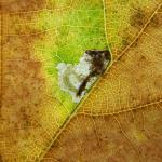Ectoedemia albifasciella Gewone eikenblaasmijnmot
