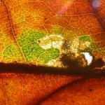 Ectoedemia subbimaculella Gespleten eikenblaasmijnmot