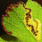 Ectoedemia atricollis Zwartkopblaasmijnmot
