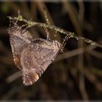Earophila badiata - Lavaux-Sainte-Anne ~ Le Gros Tienne (Namen) 04-03-2017 ©Chris Steeman