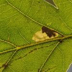 Ectoedemia albifasciella - Diepenbeek ~ De Maten (Limburg) 17-10-2020 ©Steve Wullaert