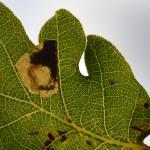 Ectoedemia albifasciella - Meeuwen ~ Vallei van de Abeek - Kolisbergen (Limburg) 07-09-2019 ©Steve Wullaert