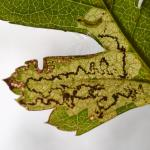 Ectoedemia atricollis - Koksijde ~ Doornpanne (West-Vlaanderen) 05-10-2019 ©Steve Wullaert
