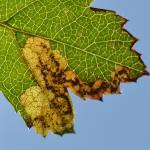 Ectoedemia atricollis - Vance ~ Marais de Vance (Luxemburg) - 29-08-2020 ©Steve Wullaert