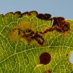 Ectoedemia atricollis op Malus spec. (appel spec.) - Latour ~ Près de Latour -Luxemburg 14-09-2019 ©Steve Wullaert