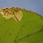 Ectoedemia atricollis op Malus spec. - Beauraing ~ Grand Quarti (Namen) 15-09-2018 ©Steve Wullaert