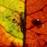Ectoedemia intimella Wilgennerfmineermot