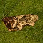 Ectoedemia minimella - Arlon ~ Domaine Privé (Luxemburg) 11-09-2021 ©Steve Wullaert