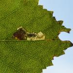 Ectoedemia minimella ~ Oud-Turnhout ~ Landschap de Liereman (Antwerpen) 22-09-2019 ©Steve Wullaert