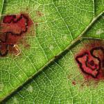 Ectoedemia rubivora - Beauraing ~ Grand Quarti (Namen) 15-09-2018 ©Philippe Vanmeerbeeck