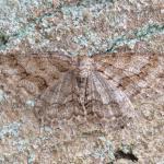 Ectropis crepuscularia - Kalmthout ~ De Kalmthoutse Heide - Stappersven (Antwerpen) 24-03-2018 ©Hein Nouwens