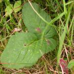 Epermenia chaerophylella - Mineerborstelmot
