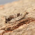 Epinotia ramella ~ Opglabbeek ~ Mijnterril - Zwarte Berg (Limburg) 17-08-2019 ©Steve Wullaert