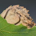 Eriocrania sangii - Grijsrupspurpermot