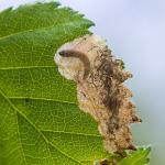Eriocrania semipurpurella op Betula pendula (ruwe berk) - Voeren ~ Het Veursbos (Limburg) 22-04-2017 ©Ben Steeman