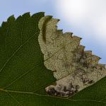 Eriocrania sparrmannella - Chaudfontaine ~ Bois de la Rochette (Luik) 09-06-2019 ©Steve Wullaert