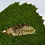 Eriocrania sparrmannella - Stockay ~ Terrils et Decanteurs (Luik) 11-07-2020 ©Steve Wullaert
