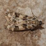 Eudonia delunella - Zutendaal ~ Lieteberg (week van het insect) Limburg 02-06-2019 ©Steve Wullaert