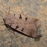 Eugnorisma glareosa - Latour ~ Près de Latour -Luxemburg 14-09-2019 ©Steve Wullaert
