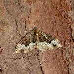 Euphyia biangulata - Arlon ~ Domaine Privé - Luxemburg 03-06-2018 ©Steve Wullaert
